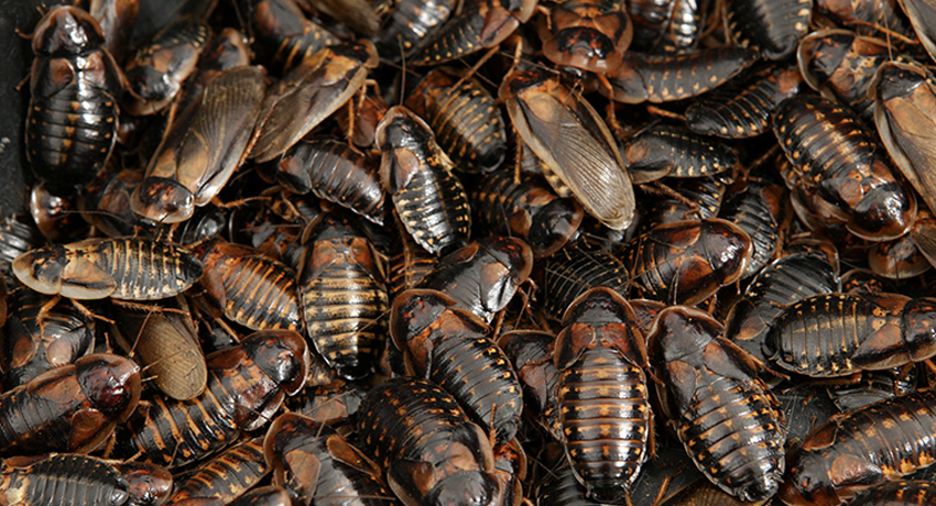 How to Care for Your Dubia Roaches by Size