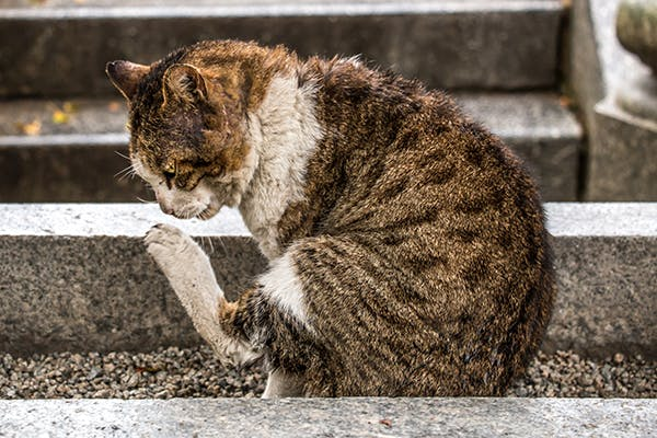 Staph Infection In Cats: Causes, Symptoms, Diagnosis, Treatment And Prevention