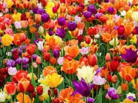 What Can I Gift Along With Tulip Bouquet?