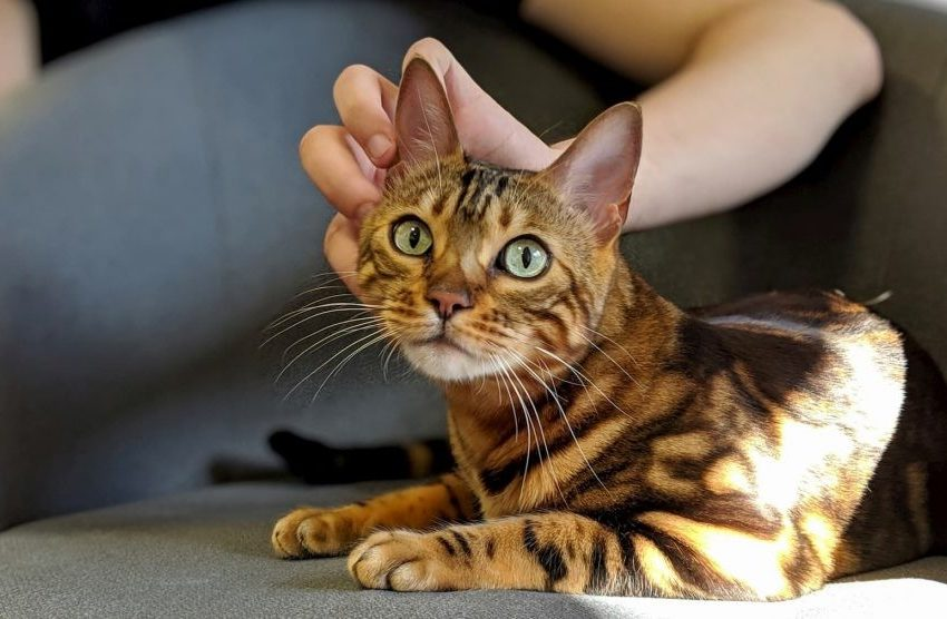 It is Important to take Proper Care of the Health of your Bengal Cat